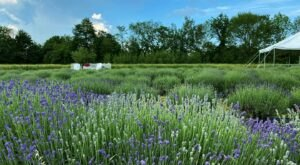 Get Lost In 2,000 Beautiful Lavender Plants At Moore Manor Farm In Maine