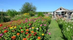 Plan A Family Visit To Leaning Barn Farms, A Colorful U-Pick Flower Farm In Idaho