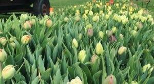 You'll Want To Visit Tulip Ridge Flower Farm, A Dreamy Tulip Farm In Ohio This Spring