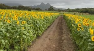 Get Lost In Thousands Of Beautiful Sunflower Plants At Waimanalo Country Farms In Hawaii