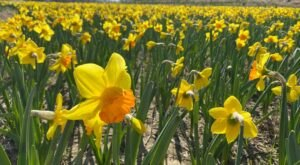 Lauritzen Gardens In Nebraska Will Have 400,000 Daffodils In Bloom This Spring
