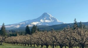 You'll Be Mesmorized By The Endless Apple Blossom Fields At Mt. View Orchards