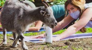 You Can Do Yoga With Goats At The Paradigm Gardens In New Orleans