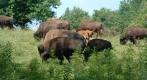 There's A Working Bison Farm In Ohio Called Pencil Bison Ranch Where You Can Get Fresh, Ethical Meat