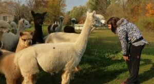There's A Bed And Breakfast On This Alpaca Farm In Michigan And You Simply Have To Visit