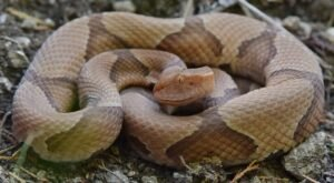 Beware Of Extra Copperheads Out Snacking On Cicadas In Florida This Spring