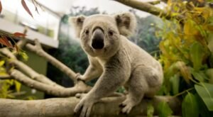 Say G'Day To The Newest Residents, Adorable Koalas, On Your Next Visit To The Kansas City Zoo In Missouri