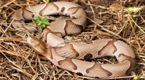 Beware Of Extra Copperheads Out Snacking On Cicadas In Arkansas This Spring