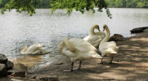 This South Carolina Locale Is The Only Public Garden In The U.S. That's Home To All Seven Species Of Swans