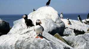 Maine's Atlantic Puffins Are Adorable To See On This Unique Scenic Boat Tour