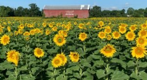 Get Lost In 100,000 Beautiful Sunflower Plants At Frederick Farms In New York