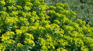 Keep An Eye Out For A Toxic Plant Called Myrtle Spurge On Idaho Hiking Trails