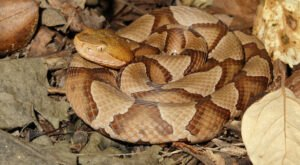 Beware Of Extra Copperheads Out Snacking On Cicadas In New Jersey This Spring.