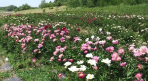 Get Lost In Thousands Of Beautiful Peony Plants At Hidden Springs Flower Farm In Minnesota