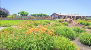 Get Lost In Over 1,200 Beautiful Daylily Varieties At Amador Flower Farm In Northern California