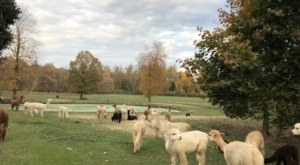Wake Up To Sweet Alpacas And Angora Bunnies At This Fiber Farm Vacation Cottage In New Jersey