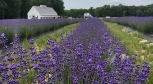 Get Lost In Thousands Of Beautiful Lavender Plants At Sweethaven Lavender In Virginia