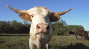 Cuddle The Most Adorable Rescued Farm Animals For Free At Rowdy Girl Sanctuary In Texas