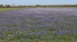 Wildseed Farms, The Nation's Largest Wildflower Farm, Is The Perfect Texas Springtime Destination