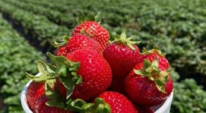 Pick Strawberries And Get Lost In A Magical Sunflower Maze At The Carlsbad Strawberry Company In Southern California