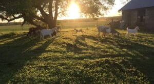 Snuggle With Baby Goats And Drink Wine At Tidewater Winery In Oklahoma
