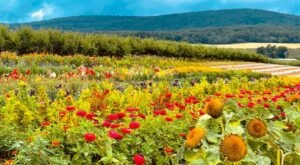 You Can Cut Your Own Flowers At Catoctin Mountain Orchard In Maryland