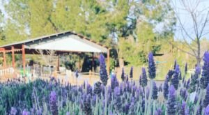 You'll Want To Visit Schnepf Farms, A Dreamy Wildflower Farm In Arizona This Spring