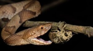 Beware Of Extra Copperheads Out Snacking On Cicadas In Kentucky This Spring