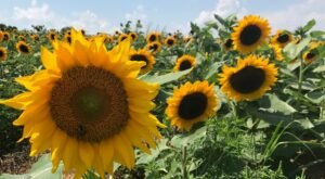 Visiting Pennsylvania's Upcoming Sunflower Festival In New Park Is A Great Summer Activity