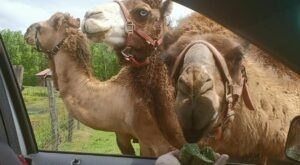 You'll Never Forget A Visit To Pettit Creek Farms, A One-Of-A-Kind Farm Filled With Camels In Georgia
