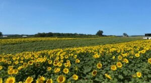 Visiting Virginia's Upcoming Sunflower Festival In Beaver Dam Is A Great Summer Activity