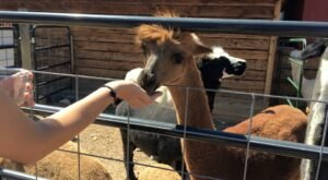 SunCrest Orchard Alpaca Farm In Colorado Makes For A Fun Family Day Trip