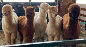 Play With Alpacas At Buck Brook Alpaca Farm In New York For An Adorable Adventure