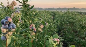 Blueberry Season Is Officially Upon Us In Florida – Here Are 7 Farms To Pick Your Own