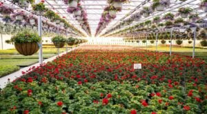 You'll Find More Than 80,000 Chrysanthemums Inside The Massive, 5-Acre Amherst Greenhouse In Ohio