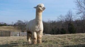 Eagle Bend Alpaca Farm In Kentucky Makes For A Fun Family Day Trip