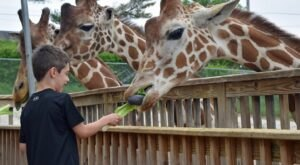 You Can Enjoy Breakfast With Giraffes At This Pennsylvania Zoo