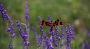 Get Lost In Hundreds Of Beautiful Lavender Plants At Fairlamb Lavender Farm Near Pittsburgh