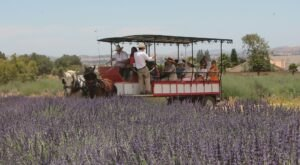 Wander Through 20 Acres Of Fragrant Lavender Fields At This Lavender Festival In Southern California