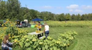 The Festive Sunflower Farm Close To Detroit Where You Can Cut Your Own Flowers