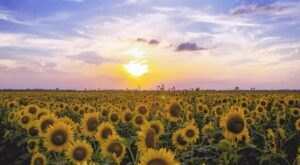 See Thousands Of Sunflowers In Bloom Along The Sunflower Trail In Louisiana