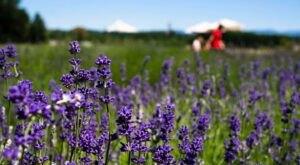 Enjoy Stunning Views Of Mount Hood While You Visit This Lavender U-Pick Farm In Oregon