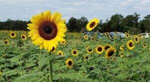 Visit Coastal Ridge Farm, A 15-Acre U-Pick Sunflower Farm In Mississippi
