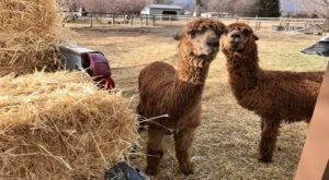 Cuddle The Most Adorable Rescued Farm Animals For Free At Safe Haven Llama and Alpaca Sanctuary In Montana