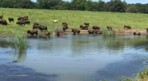 Take An Offroad Adventure To Visit A Giant Herd of Iowa Bison