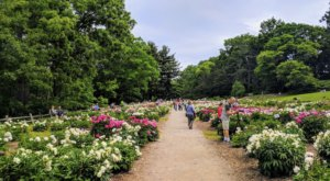 A Trip To This Neverending Peony Garden Near Detroit Will Make Your Spring Complete