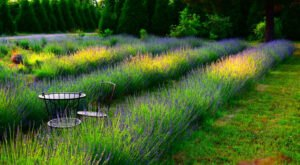 The Beautiful Lavender Farm Hiding In Plain Sight In Alabama That You Need To Visit