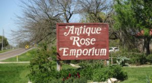 Frolic Through An 8-Acre Rose Garden At Antique Rose Emporium In Texas