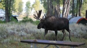 Sleep Among Towering Cottonwoods And Curious Moose At The Gros Ventre Campground In Wyoming