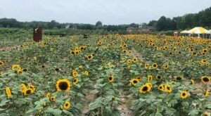 This Upcoming Sunflower Festival Near Detroit Will Make Your Summer Complete